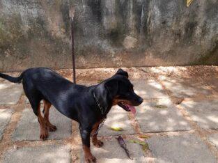7 months Rottweiler puppy