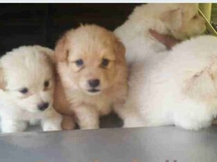 Pomeranian dog for sale