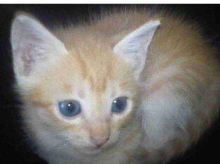 Persian mix yellow kittens