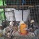 Golden Aseel Rooster Chicks