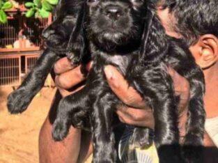 Cocker spaniel dog for sale