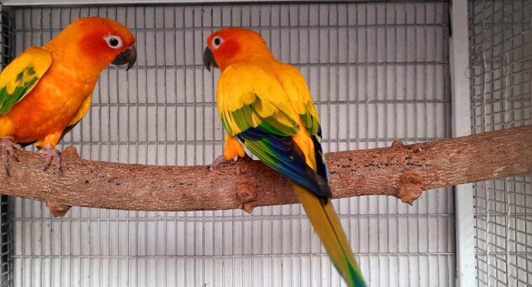 Sun conure parrot breeding pears