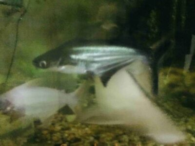 Pearl arowana for sale