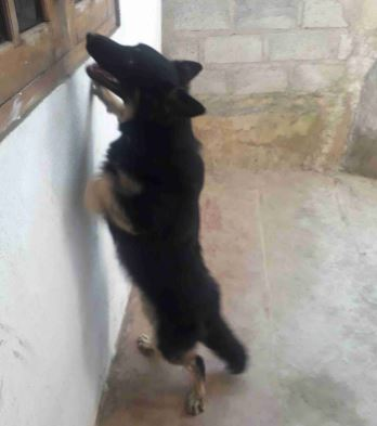 FEMALE GERMAN SHEPERED FOR SALE