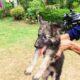 German shepherd long coat puppy