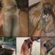 Rhodesian Ridgeback puppies for sale