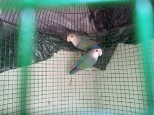 African love birds 2 pair