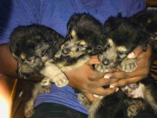 Lion Shepherd Puppies For Sale