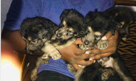 Lion Shepherd Puppies For Sale