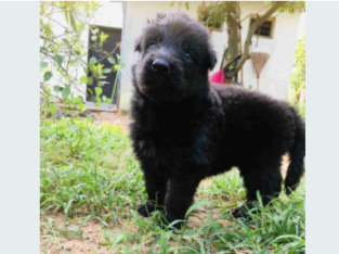Lion Shepherd Puppy For Sale