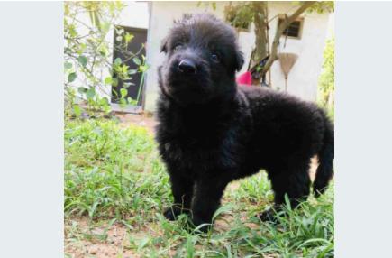 Lion Shepherd Puppy For Sale