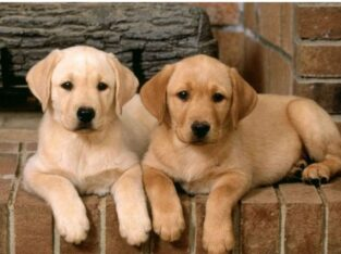 Labrador Retriever Pure Breed Puppy's