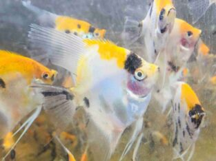 Tetra Fish And Angel Fish For Sale
