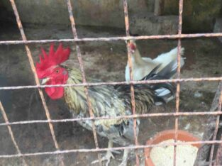 Different Breeds Of Bantams For Sale