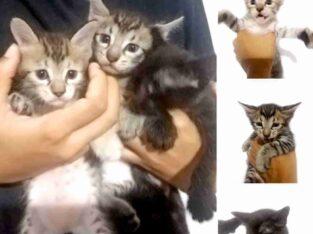 Kittens For Adoptions