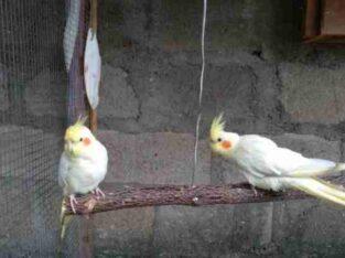 Cockatiel Lutino Bird For Sale