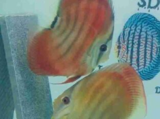 Discus Baby Fishes For Sale