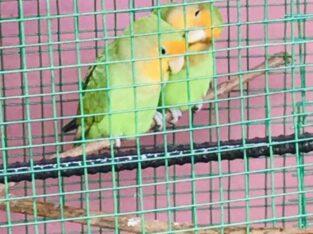African Birds Green Peak For Sale