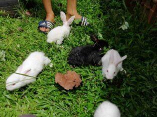 Angora Rabbit For Sale