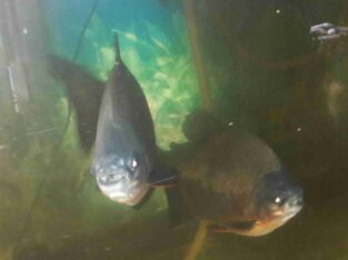 Pacu Fish For Sale
