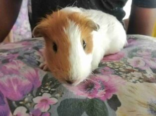 American Guinea Pig For Sale